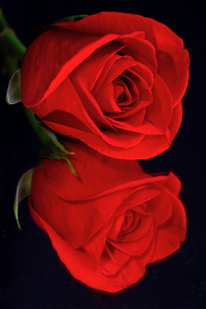 Rose Double