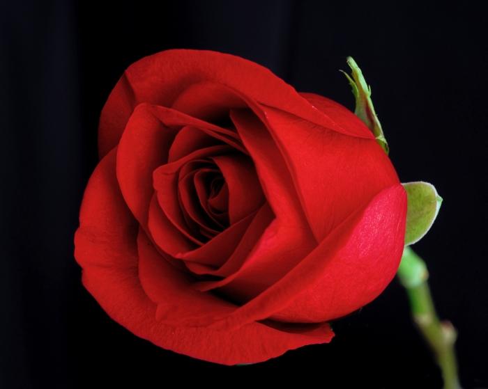 Rose5752